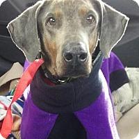 Adopt A Pet :: Indie - Omaha, NE