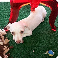 Chihuahua/Dachshund Mix Dog for adoption in Valencia, California - Odie