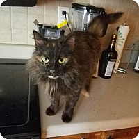 Domestic Longhair Cat for adoption in Nashville, Tennessee - Malibu