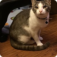 Domestic Shorthair Cat for adoption in Virginia Beach, Virginia - Annie