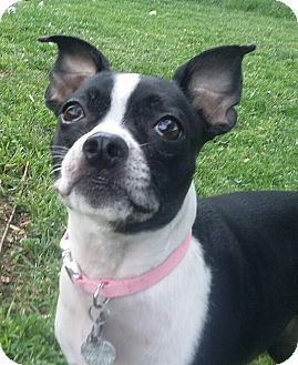 Boston Terrier Dog for adoption in Jackson, Tennessee - Ally