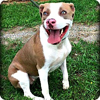 Pit Bull Terrier Mix Dog for adoption in Demopolis, Alabama - Amber