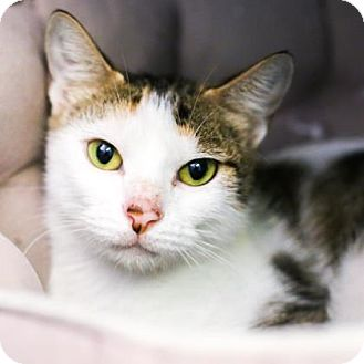 Domestic Shorthair Cat for adoption in Austin, Texas - Goldeen