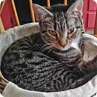 Adopt A Pet :: Chianti - N. Billerica, MA