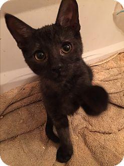 Domestic Shorthair Kitten for adoption in Burlington, Ontario - Twix