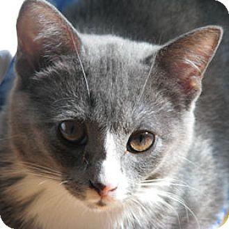 Domestic Shorthair Kitten for adoption in Verdun, Quebec - Billie