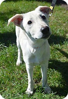 Terrier (Unknown Type, Medium) Mix Puppy for adoption in Arlington Heights, Illinois - Peanut #1212