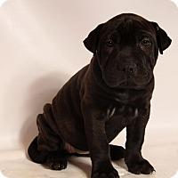 Adopt A Pet :: Maisy Aspen Bullpei - St. Louis, MO