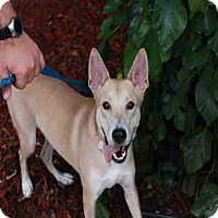 Adopt A Pet :: DINGO - Chicago Ridge, IL