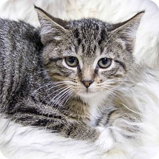 Domestic Shorthair Kitten for adoption in St. Louis Park, Minnesota - Twitch