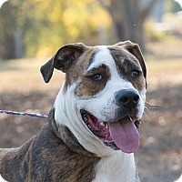 Boxer Mix Dog for adoption in Seabrook, New Hampshire - JoJo