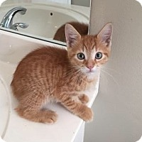 Manx Cat for adoption in West Palm Beach, Florida - Harvest