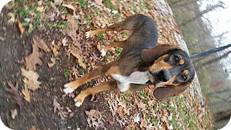 Hound (Unknown Type) Mix Dog for adoption in Marion, Indiana - vinny