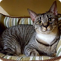 Domestic Shorthair Kitten for adoption in Salisbury, Massachusetts - Kira