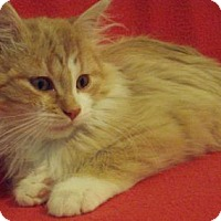 Adopt A Pet :: Gavin - Fort Collins, CO