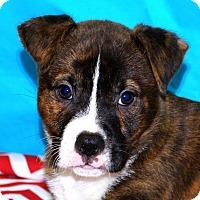 Adopt A Pet :: Bullwinkle - Glastonbury, CT
