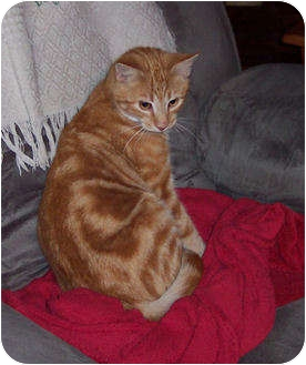Domestic Shorthair Cat for adoption in Summerville, South Carolina - Snuggles