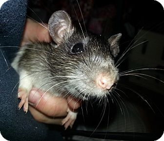 Rat for adoption in Lakewood, Washington - Brown Spot