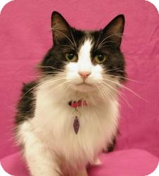 Domestic Mediumhair Cat for adoption in Sacramento, California - Sassy