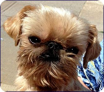 ROCKY - ADOPTION PENDING   Adopted Dog   Little Rock, AR ... Adopt A Brussels Griffon Puppy