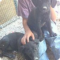 Labrador Retriever Mix Puppy for adoption in Katy, Texas - Amanda & Abbey