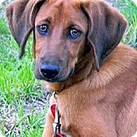 Adopt A Pet :: Jellybean - Dallas, TX