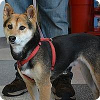 Adopt A Pet :: Kaede - Centennial, CO