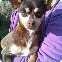 Adopt A Pet :: Cinnamon - Kirkland, WA