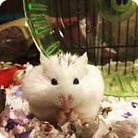 Adopt A Pet :: Q-Tip - Bensalem, PA