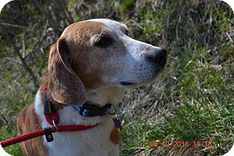 Hound (Unknown Type) Mix Dog for adoption in Bakersville, North Carolina - Ringo