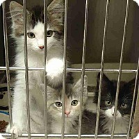 Domestic Shorthair Kitten for adoption in Howell, Michigan - Kittens