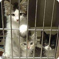 Adopt A Pet :: Kittens - Howell, MI