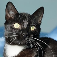 Domestic Shorthair Cat for adoption in Ft. Lauderdale, Florida - Bucky