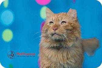 Maine Coon Cat for adoption in Columbus, Ohio - Leo