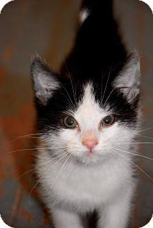 American Shorthair Cat for adoption in Danbury, Connecticut - Pepper