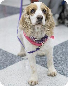 Cocker Spaniel Dog for adoption in Austin, Texas - Bella