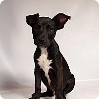Adopt A Pet :: Ranger - St. Louis, MO