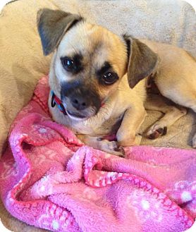 Pug/Chihuahua Mix Dog for adoption in West Palm Beach, Florida - Happy