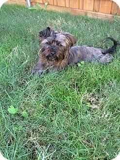Yorkie, Yorkshire Terrier/Maltese Mix Dog for adoption in MCKINNEY, Texas - Guinness