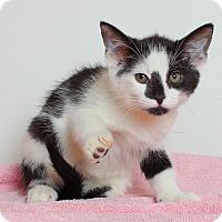 Adopt A Pet :: Trigato - Walnut Creek, CA