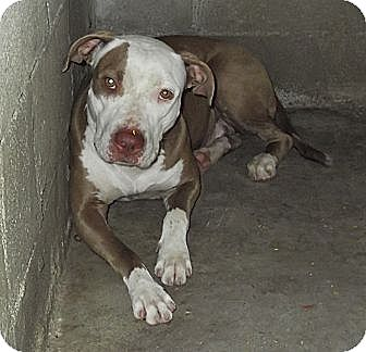 American Bulldog Mix Dog for adoption in Key Biscayne, Florida - Beauty