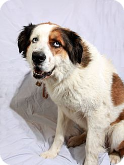 St. Bernard/Australian Shepherd Mix Dog for adoption in St. Louis, Missouri - St. Freckles