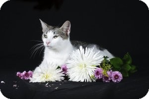 Domestic Shorthair Cat for adoption in Wayne, New Jersey - Venus