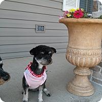 Adopt A Pet :: Mitzi - Chicago, IL