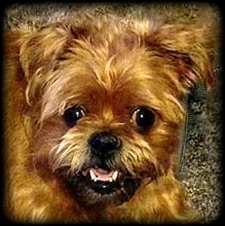Brussels Griffon Dog for adoption in Seymour, Missouri - ROZA **** in Boulder, CO