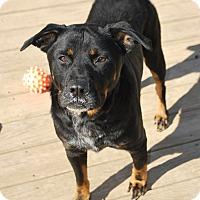Rottweiler/Blue Heeler Mix Dog for adoption in Berea, Ohio - Timmy