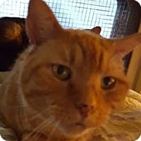Domestic Shorthair Cat for adoption in New Bedford, Massachusetts - Stewie