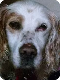 English Setter Dog for adoption in Pine Grove, Pennsylvania - MAGGIE