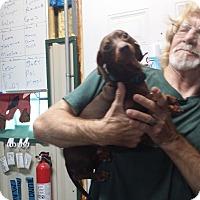 Adopt A Pet :: PJ - Lubbock, TX