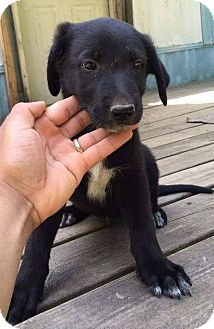 German Shepherd Dog/Hound (Unknown Type) Mix Puppy for adoption in Garner, North Carolina - Butter